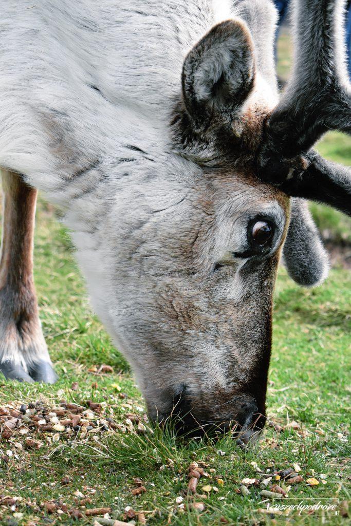 The Cairngorm Reindeer - Renifery w Szkocji z bliska 2