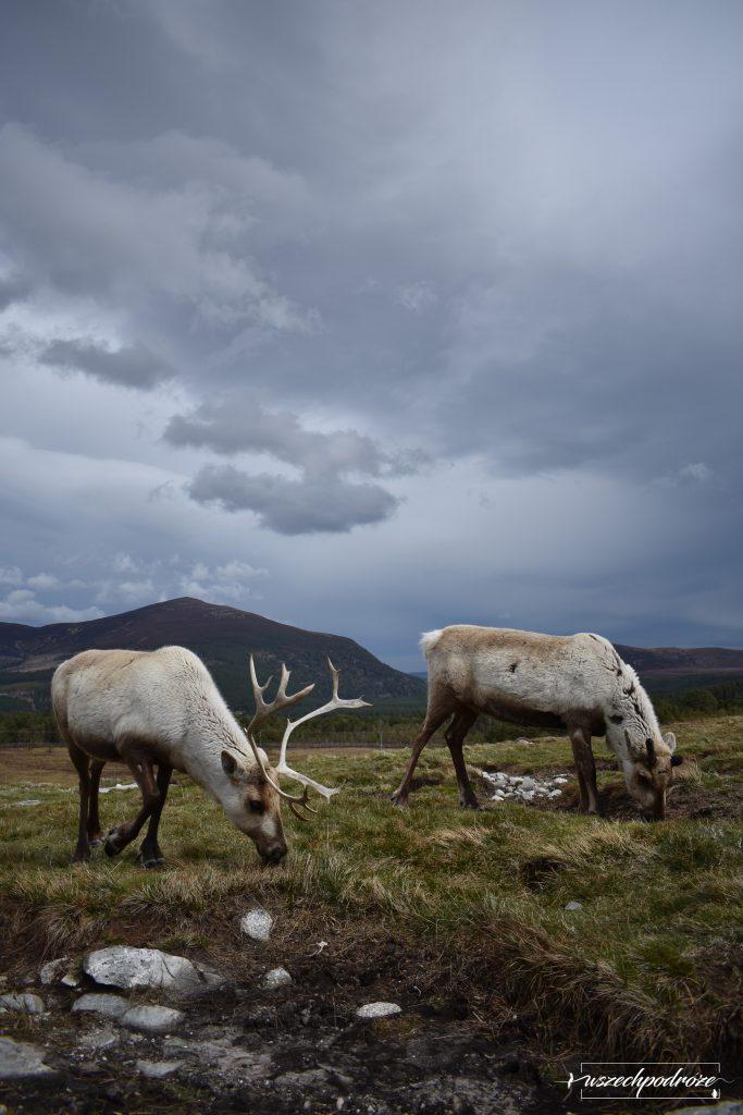 The Cairngorm Reindeer - Renifery w Szkocji w burzy