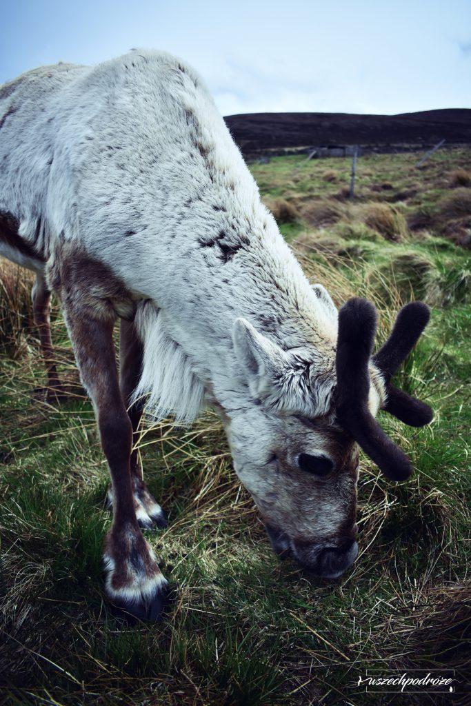 The Cairngorm Reindeer - Renifery w Szkocji