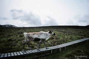 The Cairngorm Reindeer - Piękne renifery w Szkocji